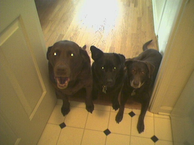 "Riley, Beatrice and Murphy ""behind the line"" waiting to be released for dinner"