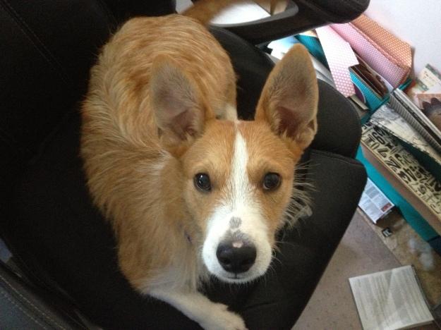 Kibbles the foster pup