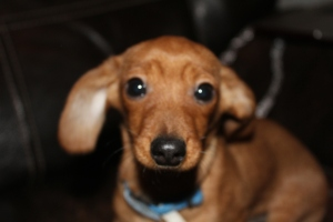 Bates, doxie mix